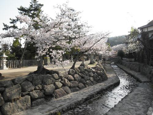 宮島の桜2