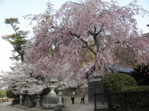 宮島の桜1