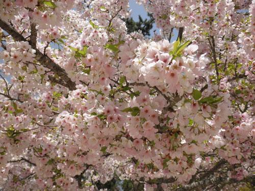 宮島の桜4