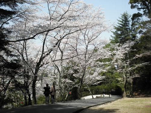 宮島の桜5