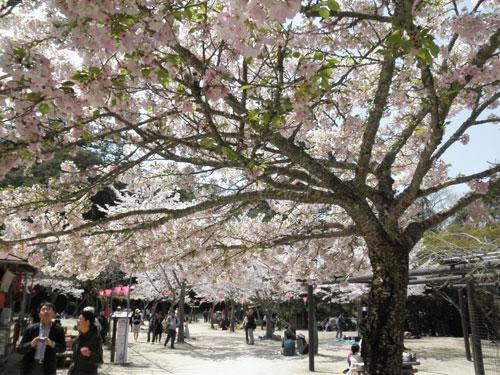 宮島の桜3