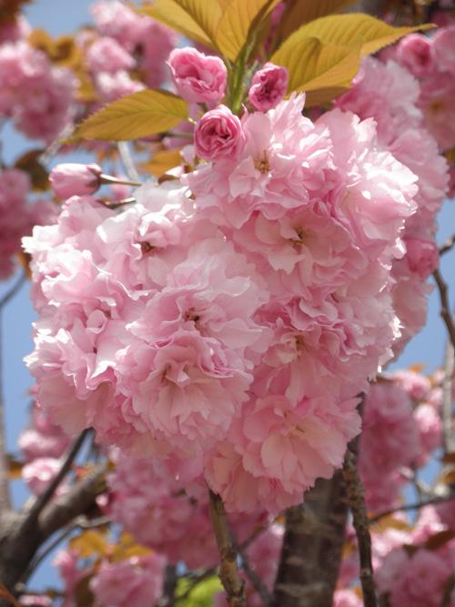 八重桜2011