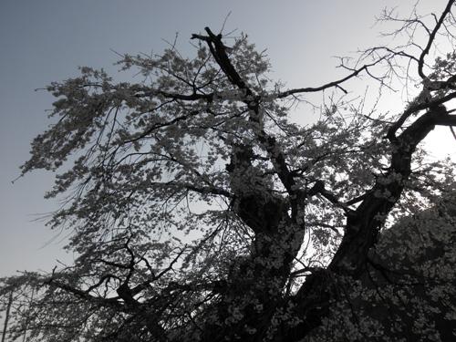 枝垂れ桜の古木
