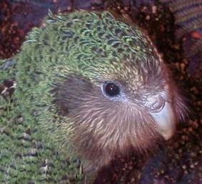 Image_0_1 kakapo