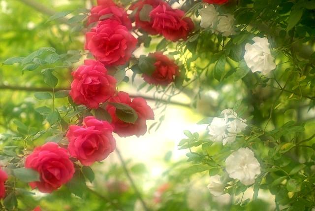 赤木さんちのバラ1
