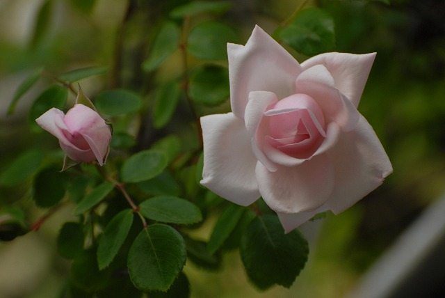 赤木さんちのバラ2