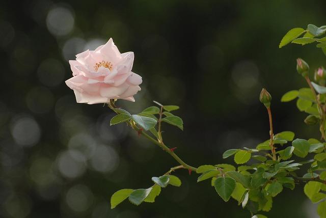 赤木さんちのバラ3