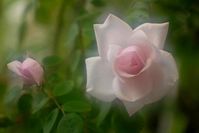 赤木さんちのバラ2-2