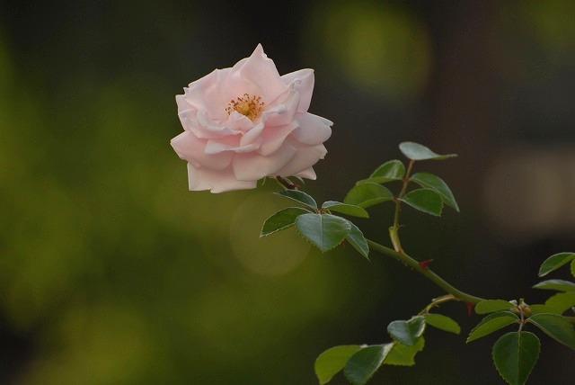 赤木さんちのバラ3-2