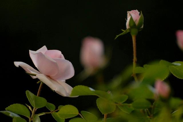 赤木さんちのバラ4