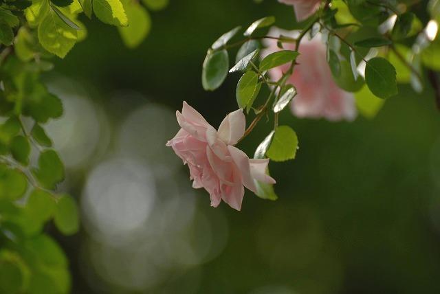 赤木さんちのバラ5
