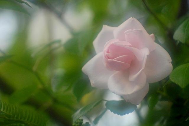 赤木さんちのバラ2-3