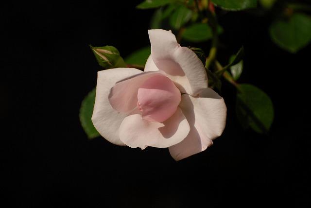 赤木さんちのバラ6