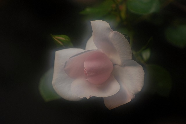 赤木さんちのバラ6-2