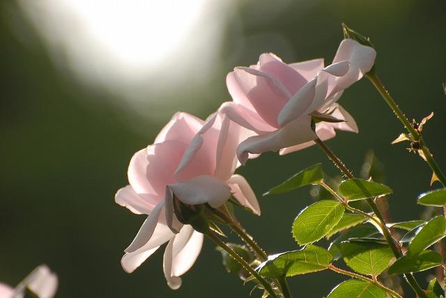赤木さんちのバラ7
