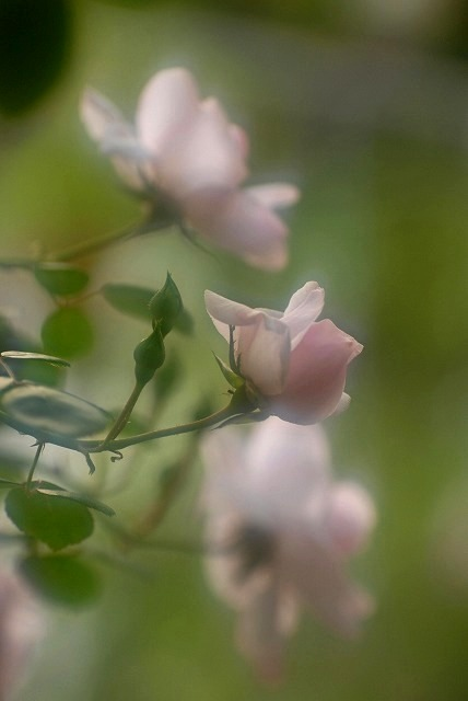 赤木さんちのバラ8
