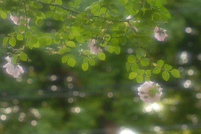 赤木さんちのバラ9