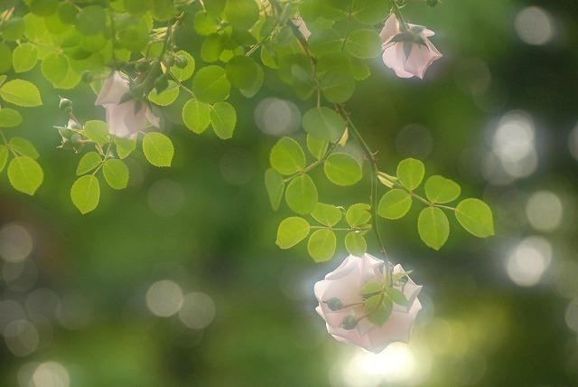 赤木さんちのバラ9-2