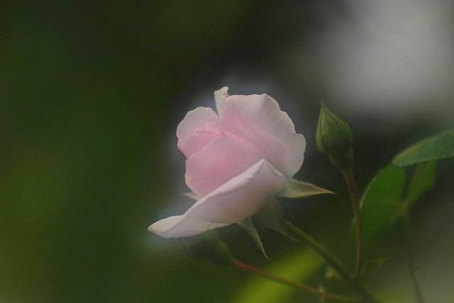赤木さんちのバラ10
