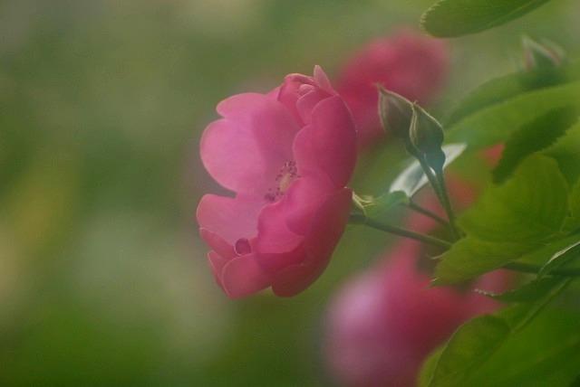 赤木さんちのバラ11