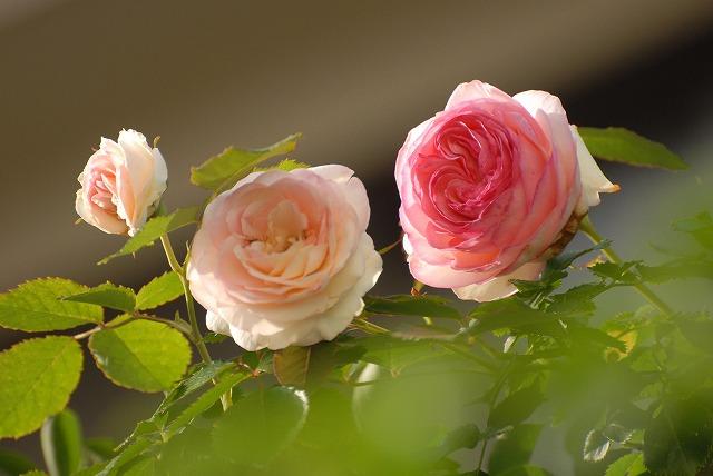 赤木さんちのバラ12