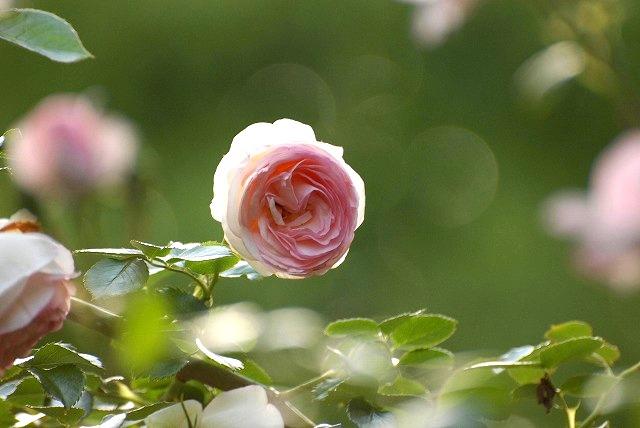 赤木さんちのバラ13