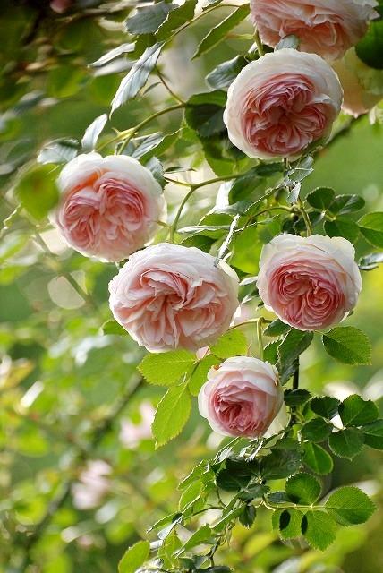 赤木さんちのバラ14