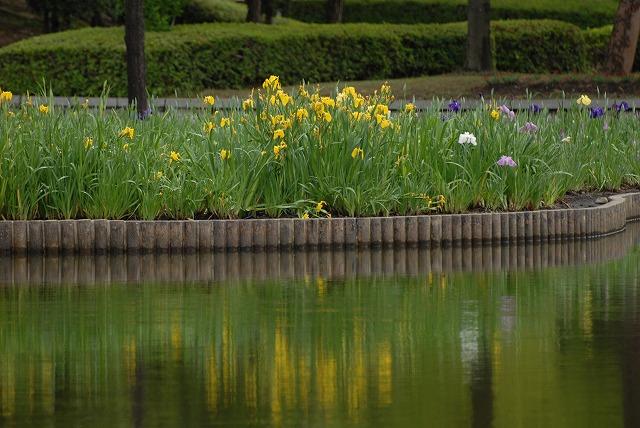 あやめ池公園の花菖蒲1