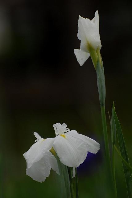 あやめ池公園の花菖蒲7