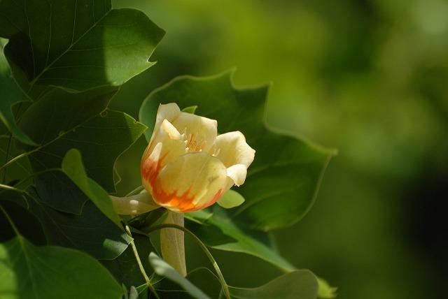 ユリの樹2