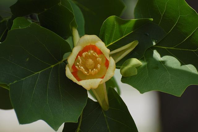 ユリの樹3