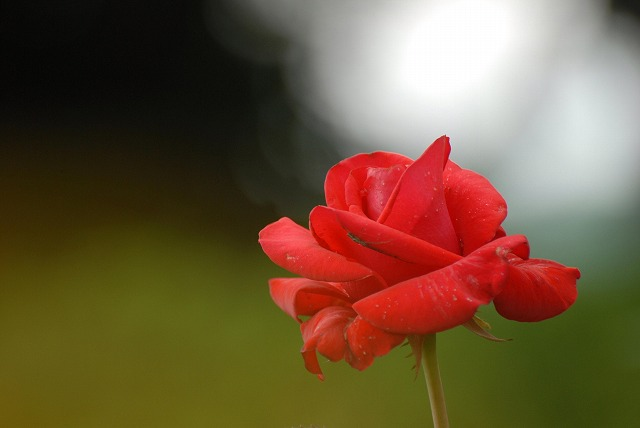 外苑のバラ2