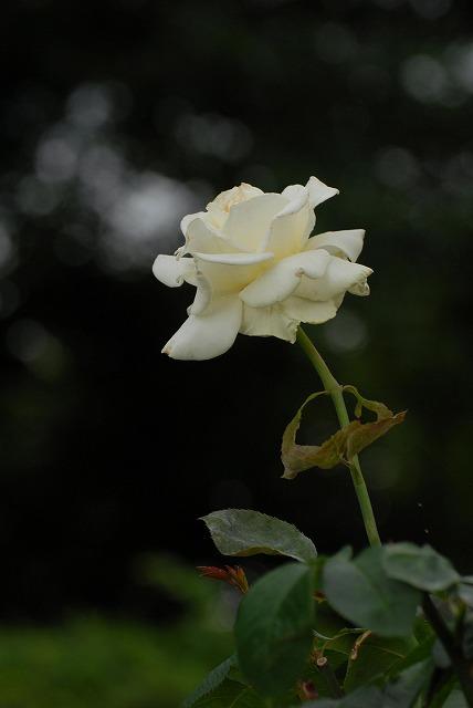 外苑のバラ3