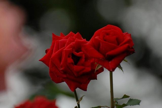 外苑のバラ4