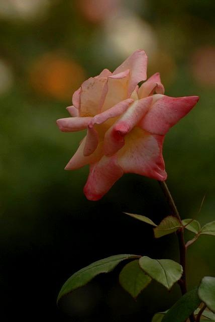 外苑のバラ5