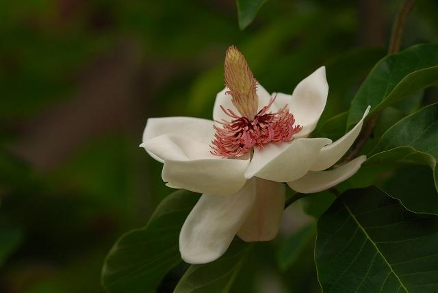 受け咲きオオヤマレンゲ1