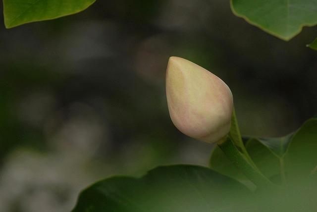 受け咲きオオヤマレンゲ2