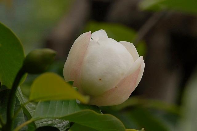受け咲きオオヤマレンゲ3