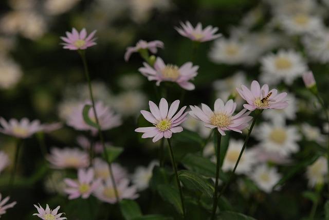 受け咲きオオヤマレンゲ
