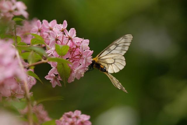 ウツギにとまるウスバシロ蝶