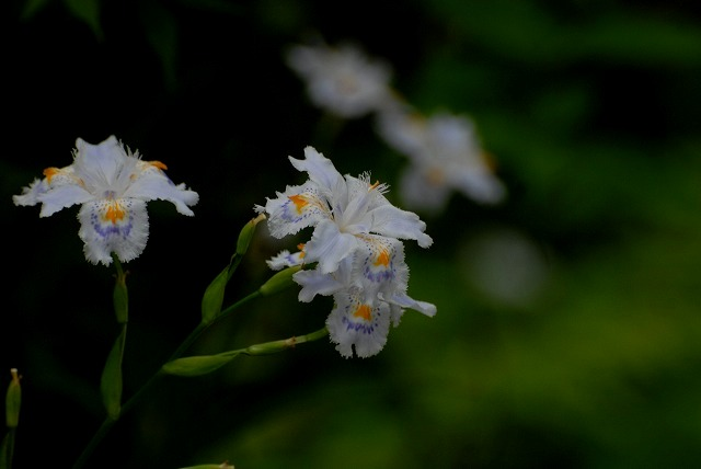 シャガの花1