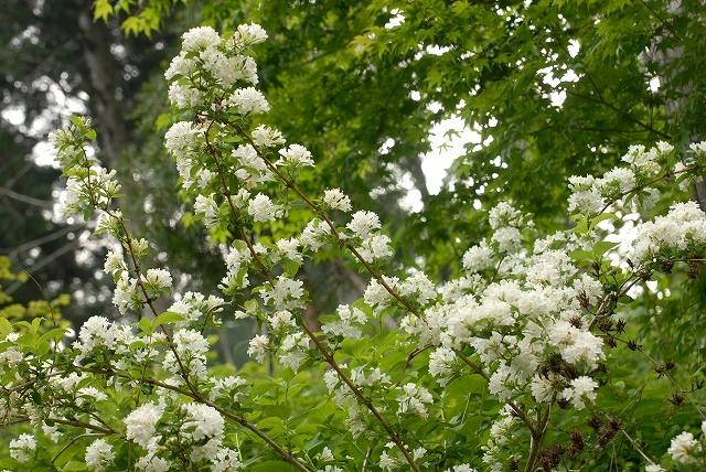 白いタニウツギ1