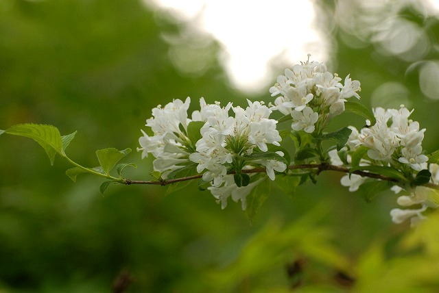 白いタニウツギ2