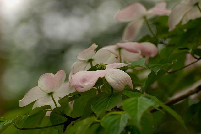 ヤマボウシ&花水木1