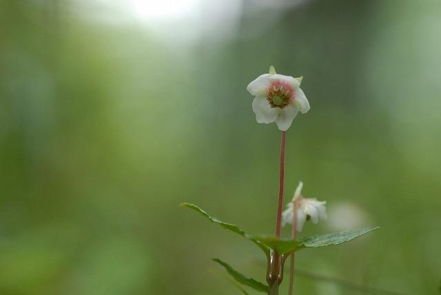 ウメガサ草1