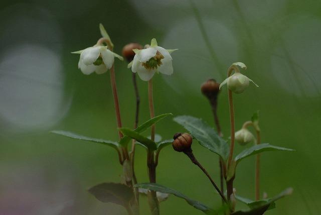 ウメガサ草6