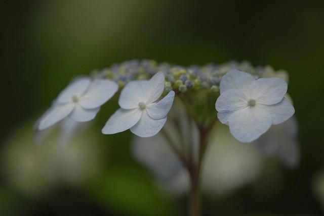山紫陽花4
