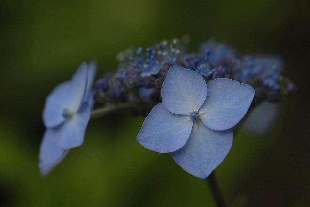 山紫陽花6