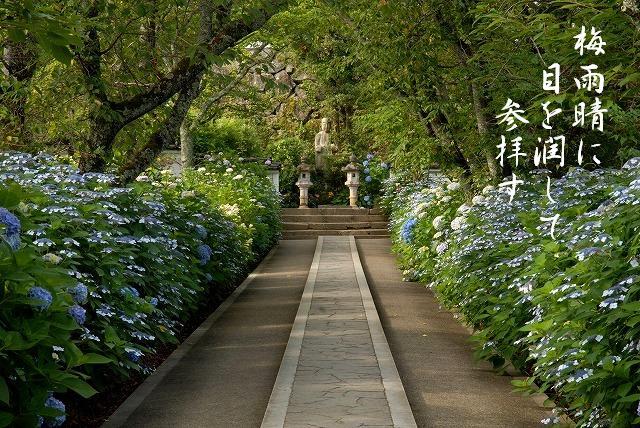 長法寺の紫陽花2
