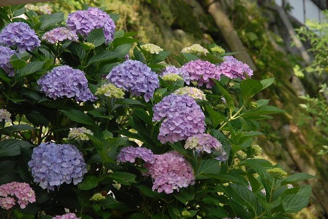 長法寺の紫陽花7